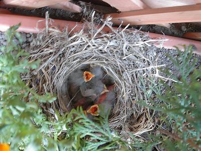 ハクセキレイの巣を見つけたら